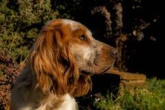 Gelbes Labrador auf den weißen Hintergründen Stockfoto