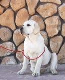 Gelbes Labrador im Park Stockfoto