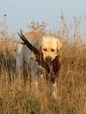 Gelbes Labrador mit Fasan Lizenzfreie Stockfotografie