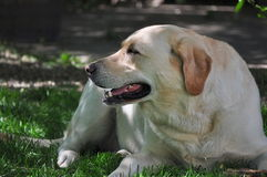 Gelbes Labrador retriever lizenzfreie stockbilder