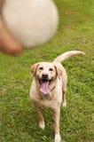 Gelbes labrador retriever, das Ball holt Stockfotos