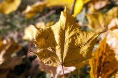 Gelbes Laub, Herbst lizenzfreie stockbilder