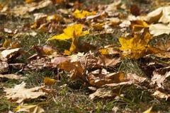 Gelbes Laub, Herbst stockbilder
