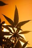Gelbes Licht-Marihuana-Schattenbild Lizenzfreies Stockbild