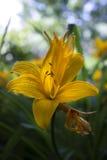 Gelbes lilie Stockfotos
