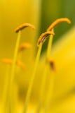 Gelbes Lilly Stockbilder
