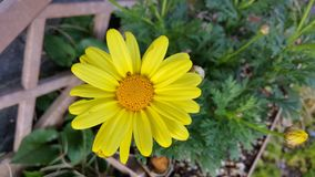 Gelbes Mais-Gänseblümchen stockbilder