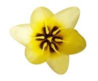 Gelbes Makro der Tulpe Lizenzfreie Stockfotos
