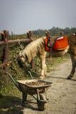 Gelbes maned Pferd Stockbilder