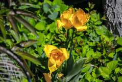 Gelbes Narcissuses Stockfotografie