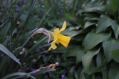 Gelbes nartsitsa man wächst unter stockbild