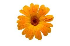 Gelbes nasses gerber Gänseblümchen über Weiß stockfoto