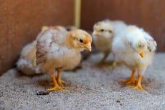 Gelbes neugeborenes Huhn Stockfotos