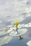 Gelbes Nuphar lurea Stockbilder