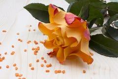 Gelbes /orange Rose Stockbilder