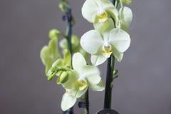 Gelbes Orchidee phalenopsis Lizenzfreies Stockbild