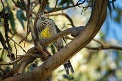 Gelbes paradoxa Wattlebird - Anthochaera das größte der honeyeaters, endemisch nach Tasmanien, Australien lizenzfreie stockfotos