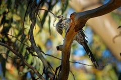 Gelbes paradoxa Wattlebird - Anthochaera das größte der honeyeaters, endemisch nach Tasmanien, Australien lizenzfreie stockfotografie