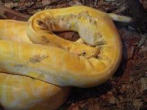 Gelbes Pythonschlangenverdauen Lizenzfreie Stockfotografie