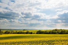 Gelbes Rapsfeld gegen blauen Himmel mit Wolken Stockfoto