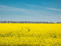 Gelbes Rapsfeld unter dem blauen Himmel von Ukraine Stockfotos