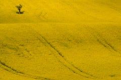 Gelbes Rapssamen-, Canola-oder Raps-Feld mit Apfelbaum Erstaunlicher Kohl Napus, Frühlings-Zeit-Ansicht Stockfotos