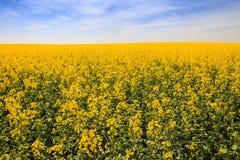 gelbes Rapssamenfeld in der Blüte Lizenzfreies Stockfoto