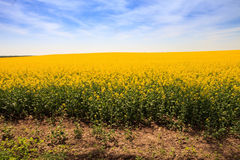 gelbes Rapssamenfeld in der Blüte bis zum Horizont Stockfotos