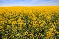 gelbes Rapssamenfeld in der Blüte bis zum Horizont Stockbilder