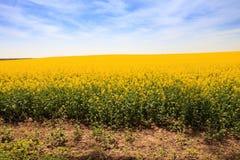 gelbes Rapssamenfeld in der Blüte bis zum Horizont Stockfoto