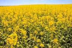 gelbes Rapssamenfeld der Nahaufnahme in der Blüte bis zum Horizont Stockbilder