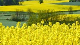 Gelbes Rapssamenfeld im Frühjahr stock video footage