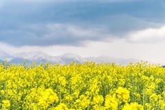 Gelbes Rapssamenfeld im Land mit einem bewölkten Berg in t Stockfotografie