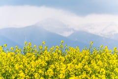 Gelbes Rapssamenfeld im Land mit einem bewölkten Berg in t Lizenzfreie Stockbilder