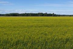 Gelbes Rapssamenfeld und blauer Himmel, eine schöne Sommerlandschaft Stockbild