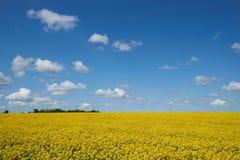 Gelbes Rapssamenfeld unter einem blauen Himmel und weißen Wolken Stockfoto
