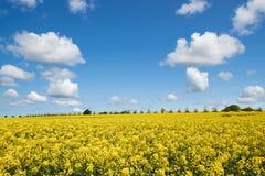 Gelbes Rapssamenfeld unter einem blauen Himmel und weißen Wolken Stockfotografie