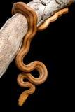 Gelbes Ratsnake auf einem Zweig Stockfoto