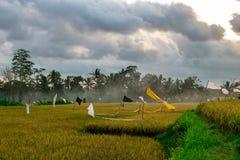 Gelbes Reisfeld mit Palme und Wolke lanscape stockbild