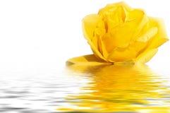 Gelbes Rosenwasserreflexionsweiß Lizenzfreies Stockfoto