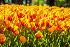 Gelbes rotes Tulpenfeld Stockfoto