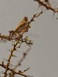 Gelbes-rumped Seedeater Stockfotografie