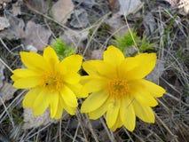 gelbes Schneeglöckchen im trockenen Laub lizenzfreies stockbild