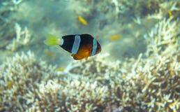 Gelbes schwarzes Clownfish in der Küste Unterwasserfoto der korallenroten Fische stockfotografie