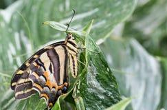 Gelbes Schwarzes und Brown streiften den Schmetterling, der auf einem Blatt stillsteht Stockbild
