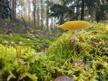 Gelbes shroom Stockbild