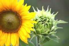 Gelbes Sonnenblumen-Detail mit grüner Sonnenblumen-Blüte Stockfotografie
