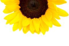 Gelbes Sonnenblumen-Makrofoto Hintergrund Seashells gestalten auf Sandhintergrund Stockfotos