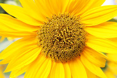 Gelbes Sonnenblumenmakro Lizenzfreies Stockfoto