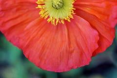 Gelbes Staubgefäß der roten Mohnblumenblume lizenzfreie stockfotografie